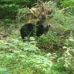 adult Black Bear near  Delaware River