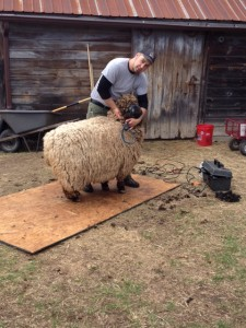 """""""There's a sheep under here somewhere,"""" said Joe the shearer, before he began shearing the fleece of this Romney."""