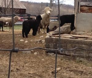 The idyllic barn yard at Ensign Brook Farm.