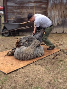 Not only does a shearer need to handle the sheep, he needs to manipulate the fleece as he works to keep it on one piece.
