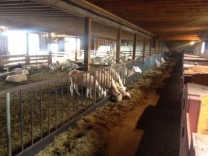 Contented sheep munching at Dancing Ewe Farm.
