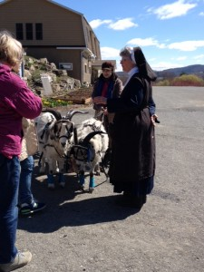 Goats are harnessed to a cart.  Each can pull up to one and a half times its weight.
