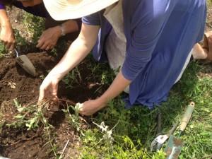 harvesting madder