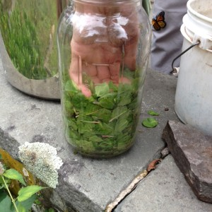 indigo leaves are shredded and packed into a 2-quart jar